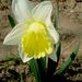 nárcisz1