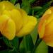 tulipán eső után
