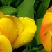 tulipánpár