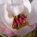 körtefa virága