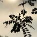 Akácos,felhős naplemente