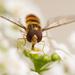 méhecske, aki zengőlégy :)