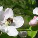 méh almavigágon