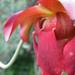 Kürtvirág