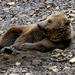 mackós medve