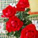 Rózsák a kertbõl