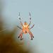 hálószövõ pók +vidi