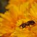 Méhecske munkában, rendezői változat