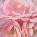 A rózsaszín rózsa