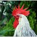 Gyűjtemény - Kakas - tyúk - házi szárnyasok