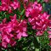 fák, rózsaszínű leánder