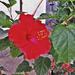 hibiszkusz, SAMSUNG-vörös