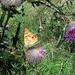 rovarok, SAMSUNG-pillangó