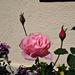 rózsa, SAMSUNG-rózsa bimbóval