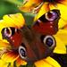 rovarok, pillangó közel