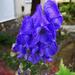 sisakvirág, kék ismeretlen