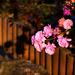 rózsa, elfutott novemberig