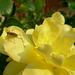 Rózsa 3.