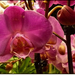 Orchidea - 3.